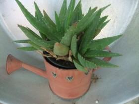 petite_plante_et_arrosoir
