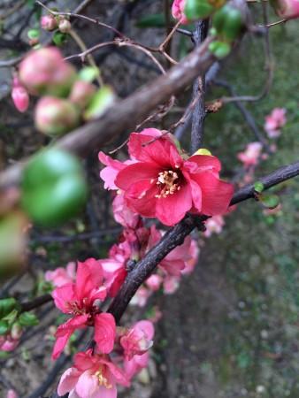 fleur-rose-avril-2015