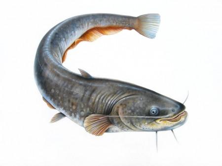 catfish_vrai_poisson