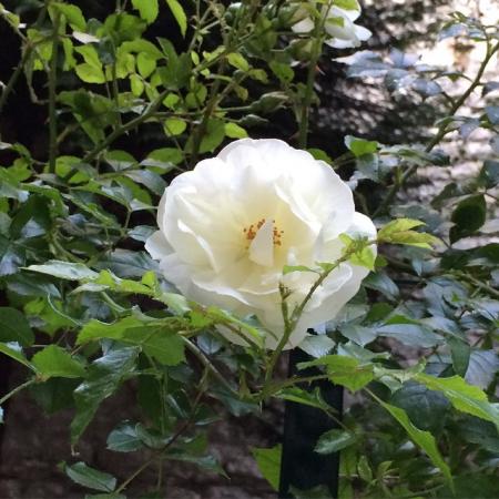 rose_blanche_siro