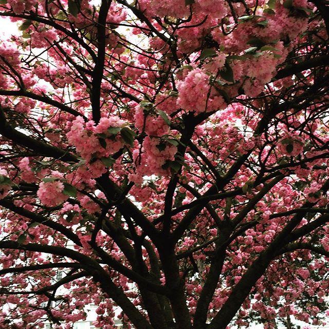 cerisiers_en_fleur_13eme_2016
