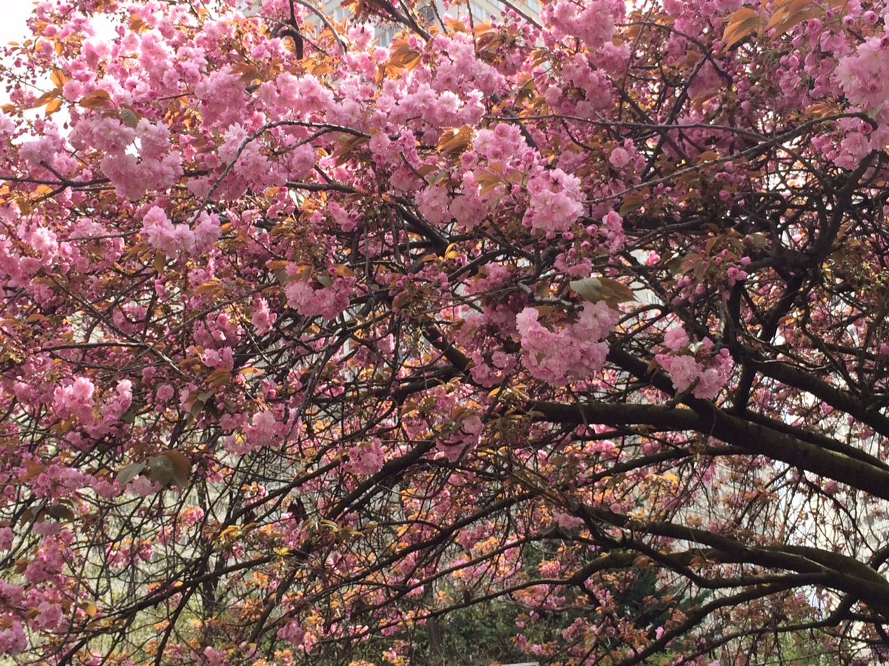 fleurs_ceriser_paris_siro_avril_2016