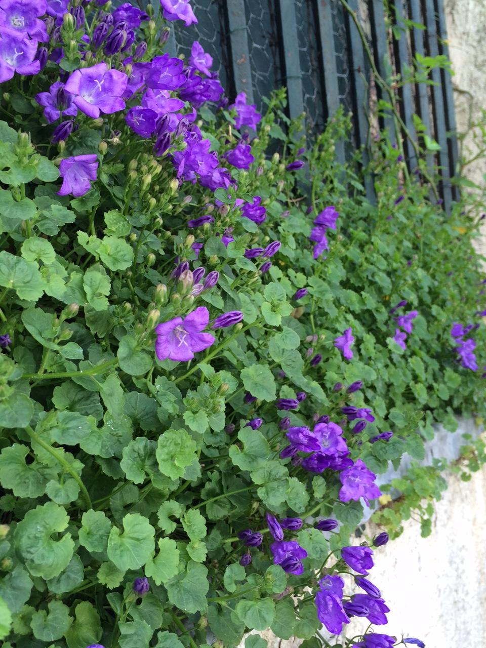 fleurs_violettes_paris_siro_avril_2016