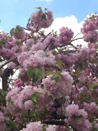 blog_sironimo_fleurs_sakura_avril_2017 (1)