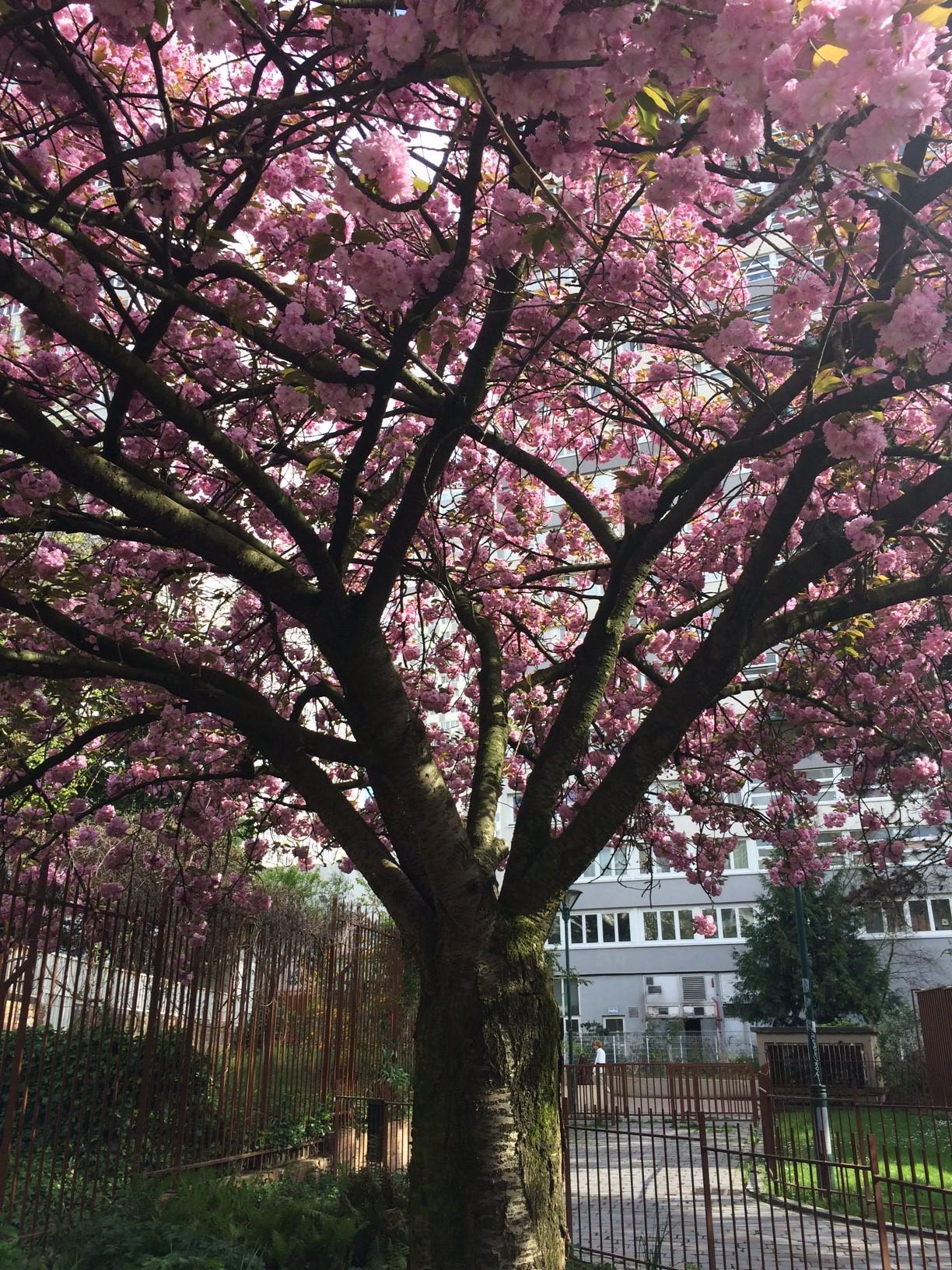 blog_sironimo_fleurs_sakura_avril_2017 (3)