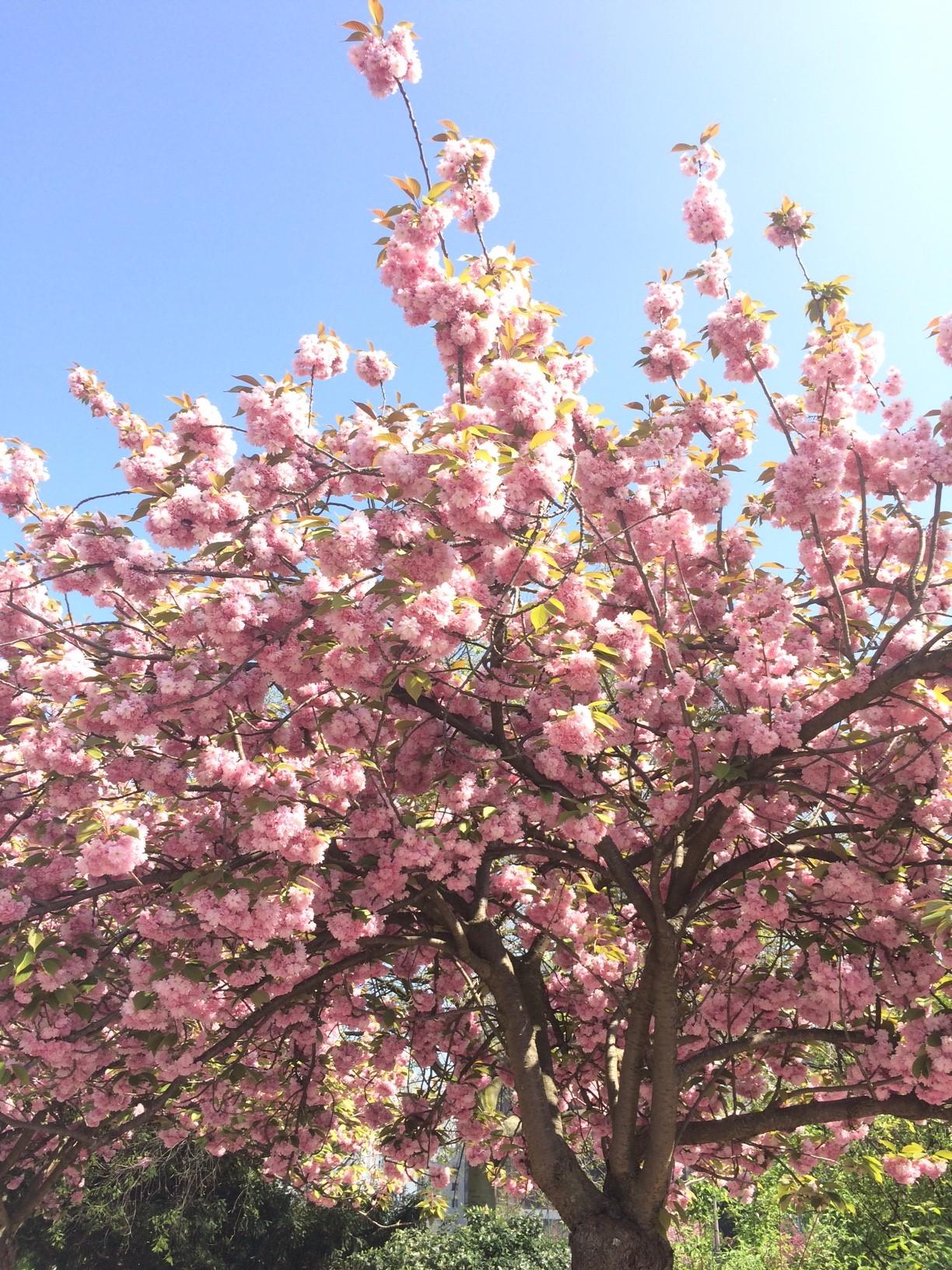 blog_sironimo_fleurs_sakura_avril_2017 (3)_bis