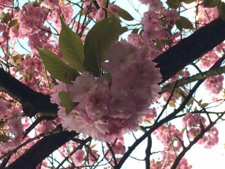 blog_sironimo_fleurs_sakura_avril_2017 (4)