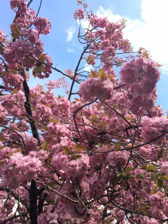 blog_sironimo_fleurs_sakura_avril_2017 (5)