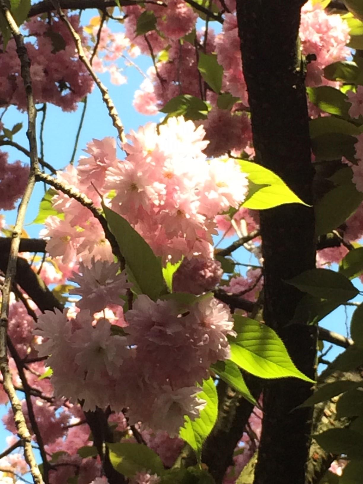 blog_sironimo_fleurs_sakura_avril_2017 (6)