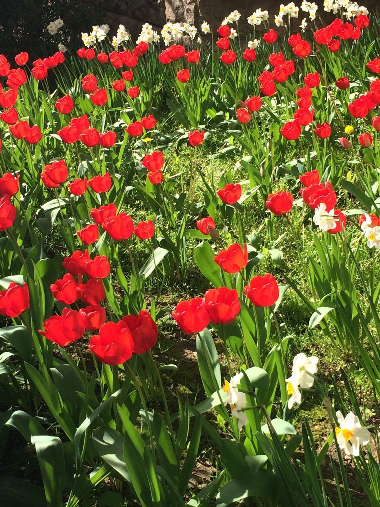 blog_sironimo_fleurs_tulipes_avril_2017 (1)